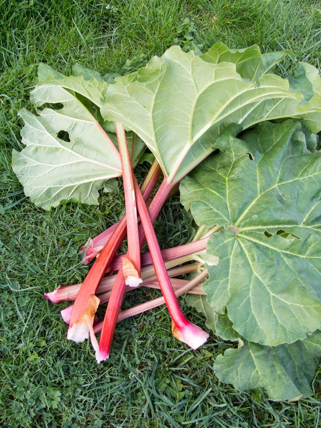 rhubarb (1 of 5)
