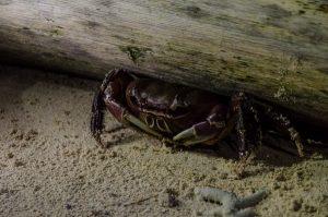 Sand crab, Pigeon Island off Kokopo