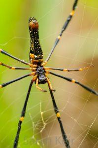 Golden Orb Web spider